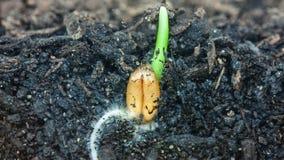 Weizenanlage, die vom Boden wächst