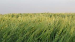 Weizenanlagen bewegt durch den Wind stock footage