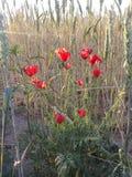 Weizenanlagen mit ponceau Blume Stockbild