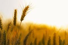 Weizenbauernhof-Hintergrundtapete Stockfotos