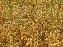 Weizenernte Stockfotografie
