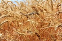 Weizenernte Stockfoto