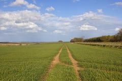 Weizenernten in den Yorkshire-Wolds Stockfoto