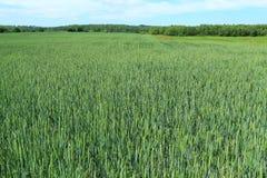 Weizenernten im Sommer Lizenzfreie Stockfotografie