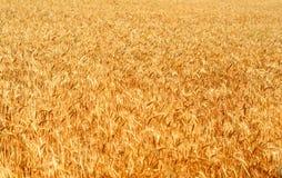 Weizenfeld Stockbilder