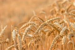 Weizenfeld stockbild