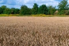 Weizenfeld, Ackerland, Feldfrüchte Stockfotos