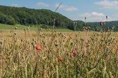 Weizenfeld auf dem Alb lizenzfreies stockfoto