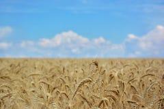 Weizenfeld auf einem Hintergrund des blauen Himmels Lizenzfreies Stockbild