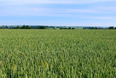 Weizenfeld, Bearbeitung der Getreide Stockfotografie