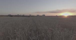 Weizenfeld bei Sonnenuntergang auf einem Hintergrund von Gebäuden einer Stadt Draufsicht von einem Hubschrauber D-Klotz, stock video