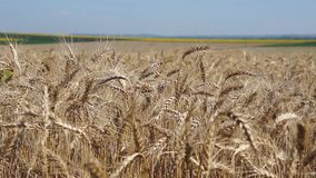 Weizenfeld an einem sonnigen Tag stock video footage