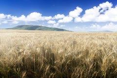 Weizenfeld an einem sonnigen Tag. Grüne Berge im Hintergrund. Lizenzfreies Stockbild