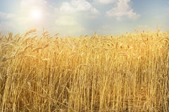 Weizenfeld an einem warmen sonnigen Tag stockbilder