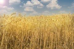 Weizenfeld an einem warmen sonnigen Tag lizenzfreies stockbild