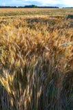 Weizenfeld, Feld des Weizens Lizenzfreies Stockbild
