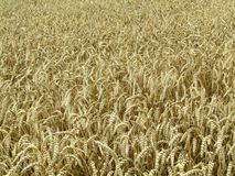 Weizenfeld, Feld des Weizens Lizenzfreie Stockfotos