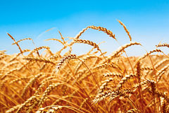Weizenfeld, frische Ernte des Weizens Lizenzfreies Stockfoto