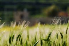 Weizenfeld im Abendsonnenlicht Stockfoto