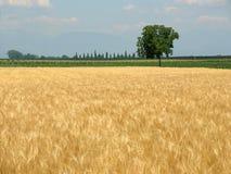 Weizenfeld im Frühjahr und einsames Lizenzfreie Stockfotos