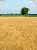 Weizenfeld im Frühjahr und einsames Stockfoto