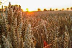 Weizenfeld im Sommer Stockfoto