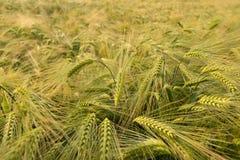 Weizenfeld im Sommer Stockbilder