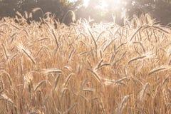 Weizenfeld im Sommer des späten Nachmittages Stockfotografie