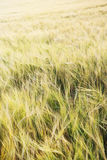 Weizenfeld im Sonnenuntergang Lizenzfreie Stockfotos