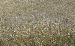 Weizenfeld im vollen Tageslicht Lizenzfreies Stockbild