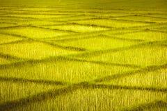 Weizenfeld mit Überfahrtreihen Hintergrund stockbild