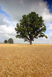 Weizenfeld mit Bäumen Lizenzfreies Stockfoto