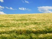 Weizenfeld mit blauem Himmel Lizenzfreies Stockfoto