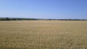 Weizenfeld mit blauem Himmel aerial Brummen fliegt niedrig über ein Feld des Weizens stock footage