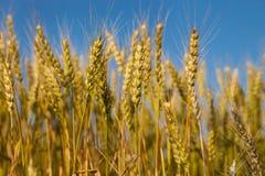 Weizenfeld mit blauem Himmel im Hintergrund Stockbilder
