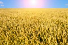 Weizenfeld mit blauem Himmel im Hintergrund Stockbild