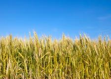 Weizenfeld mit blauem Himmel im Hintergrund Stockfoto