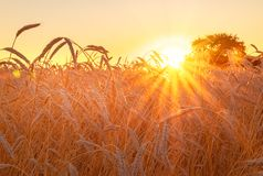 Weizenfeld mit blauem Himmel mit Sonne und Wolken Lizenzfreies Stockbild