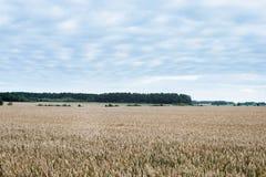 Weizenfeld mit blauem Himmel und Wald im Hintergrund Lizenzfreie Stockbilder
