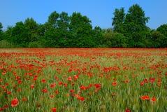 Weizenfeld mit Mohnblumen Stockbild