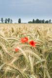 Weizenfeld mit roten Mohnblumen im Sommer Stockbild