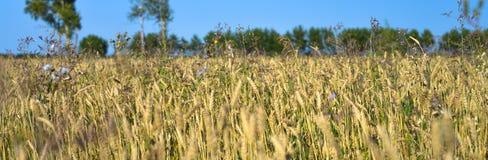 Weizenfeld in Sibirien lizenzfreies stockbild