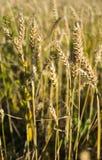 Weizenfeld in Sibirien stockbild