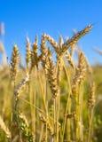Weizenfeld in Sibirien lizenzfreie stockfotos