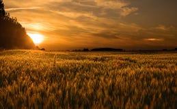 Weizenfeld am Sonnenuntergang stockfotografie