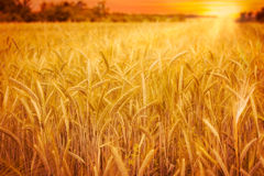 Weizenfeld am Sonnenuntergang Lizenzfreies Stockfoto