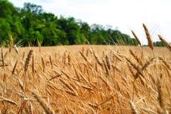 Weizenfeld und -bäume auf Hintergrund Stockfotos