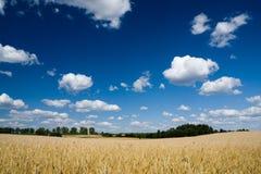 Weizenfeld und blauer Himmel Lizenzfreie Stockfotos