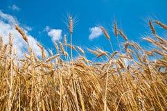 Weizenfeld und blauer Himmel Lizenzfreie Stockfotografie