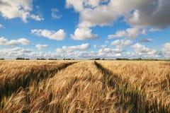 Weizenfeld und blauer Himmel im Sommer Stockfotos